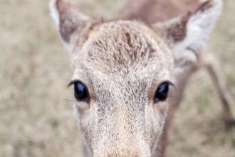 Deer of Nara, Japan